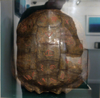 KEITH PAYNE ~ French Lesson - engraved turtle shell - €850