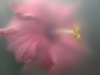 ULRIKE CRESPO - Hibiscus Splendens - digital photograph - edition 1/5 - €220