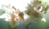 ULRIKE Rose, Rambling Rector - digital photograph - edition 1/5 - €220