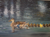 BIRGITTA SAFLUND ~ Ducks - oil on canvas - 50 x 70 cm - €800