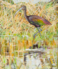 PETER WOLSTENHOLME - Glossy Ibis at Crookhaven - oil on canvas on board - 35.5 x 30 cm - €850