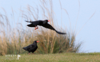 SHEENA JOLLEY - Choughs Away - fine art print - 50 x 66 cm - €286