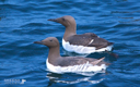 SHEENA JOLLEY - Guillemots - fine art photograph - 66 x 51 cm -€300